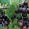 Muscadines: The Patron Grape of the South