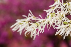 milky white witch hazel