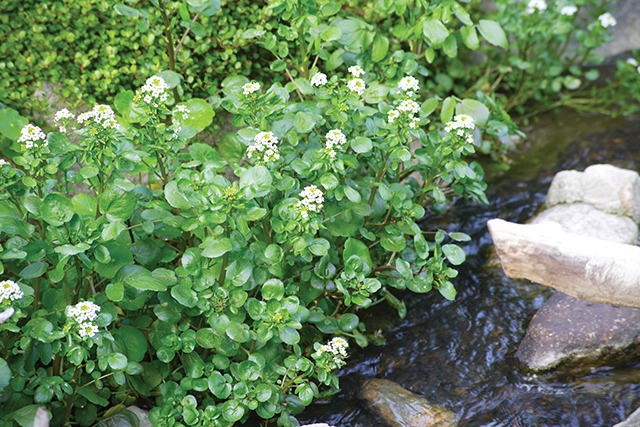 Watercress in water garden